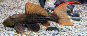 L024 (Pseudacanthicus sp. Red Fin Cactus)