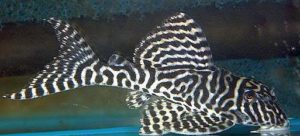 L066 (Hypancistrus sp. King Tiger Pleco)