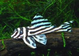 L236 (Hypancistrus sp.Mega Clown Zebra)